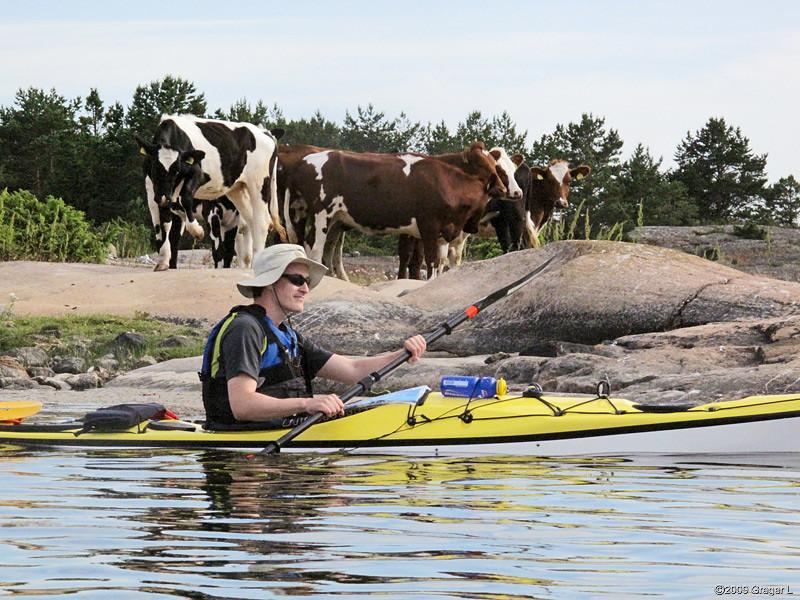 Cowboy with cows?