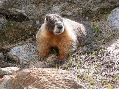Marmot.