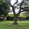 tree behind the Alamo