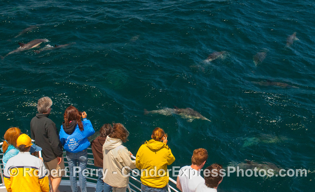 Whalers with Common Dolphins (Delphinus sp) a-plenty.