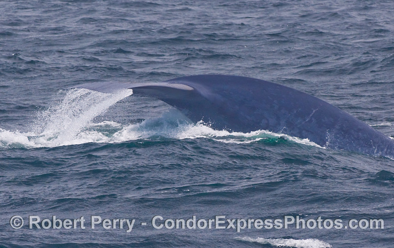 Blue Whale (Balaenoptera musculus) tail flukes - a relatively rare sight.