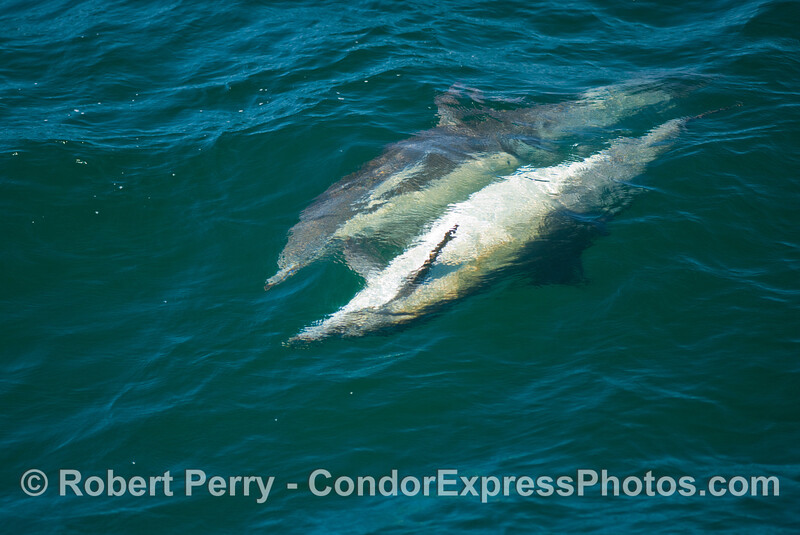 Two Common Dolphins (Delphinus sp) mating.  The male is the  upside down animal.