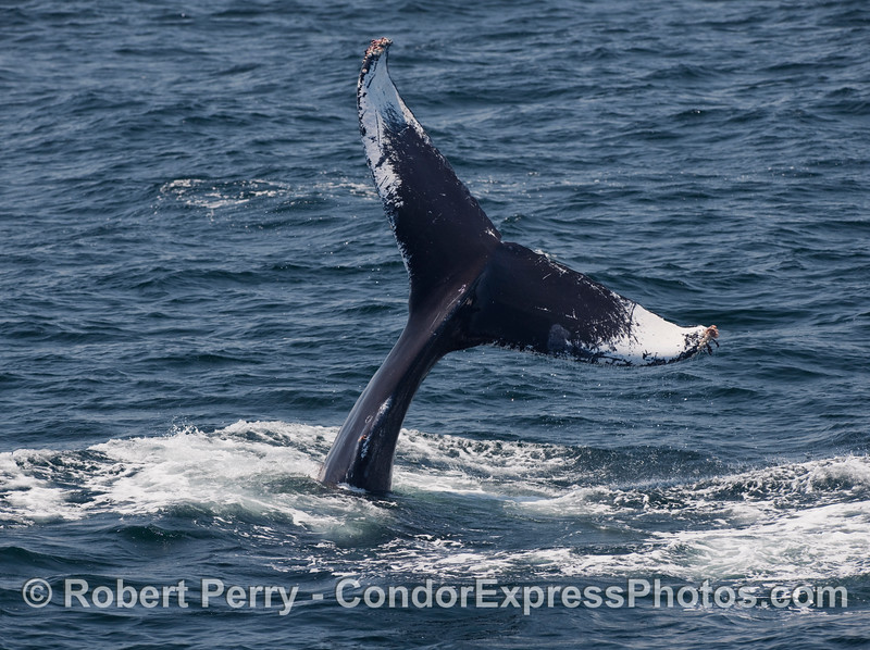 Sometimes Humpback Whales (Megaptera novaeangliae) like to wave their tails around before they slam them into the water.