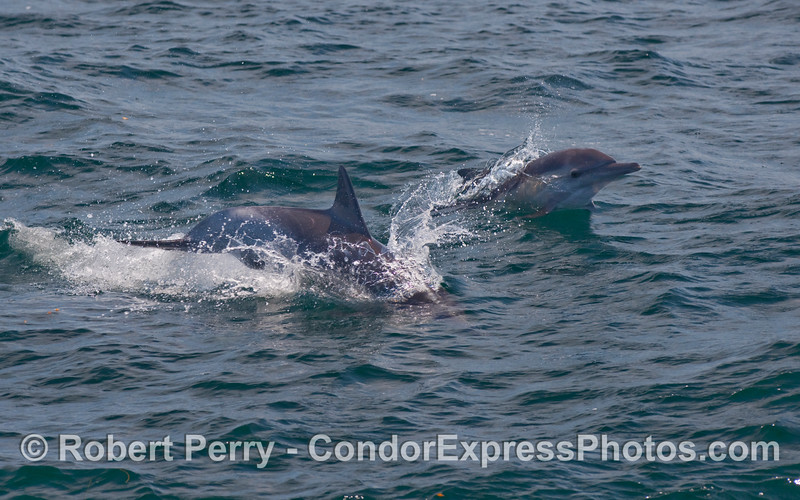 Two Common Dolphins (Delphinus sp).