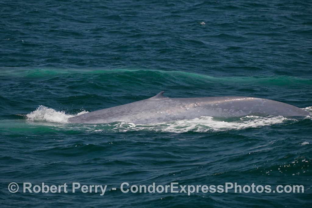 Two Blue Whales (Balaenoptera musculus), one up, one down.