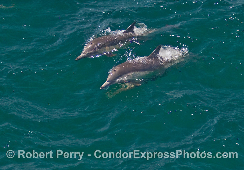 Two Common Dolphins (Delphinus sp) ride a wave.
