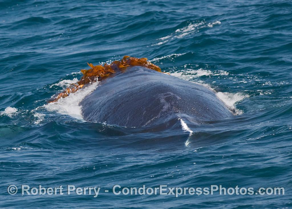 Image 2 of 2:  A Humpback Whale (Megaptera novaeangliae) kelping.