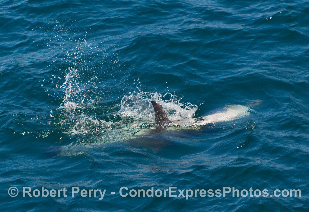 Two Common Dolphins (Delphinus sp) fooling around.
