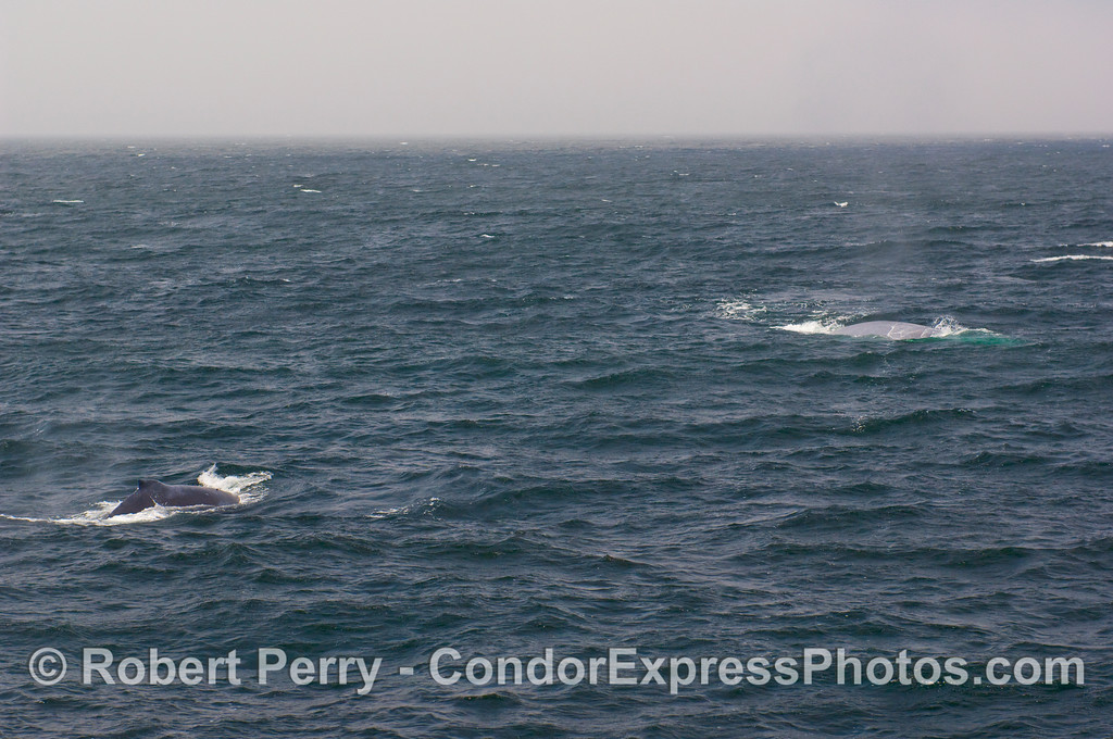 A rare image showing a Humpback Whale (Megaptera novaengliae) AND a Blue Whale (Balaenoptera musculus) in the same frame.  The Blue Whale is a the top right.