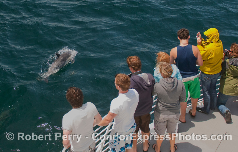 Whalers aboard the Condor Express get a close visit by a Common Dolphin (Delphinus sp).