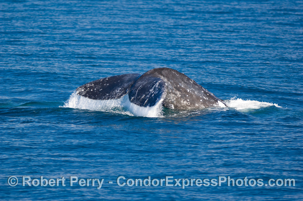 Another Gray Whale, Eschrichtius robustus, tail fluke in blue water....southbound on the front side of Santa Cruz Island.