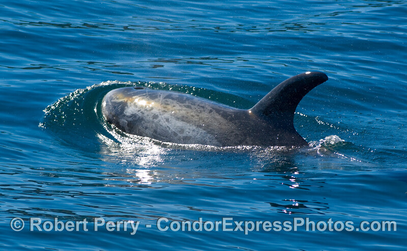 Risso's Dolphin, Grampus griseus, pushing out a nice blue bow wake.