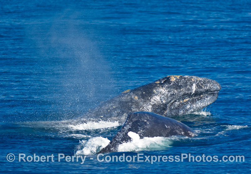 Gray Whale, Eschrichtius robustus, southbound off Santa Cruz Island (in the Santa Barbara Channel) engaged in probable courtship behavior... head out of water.