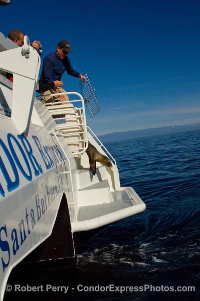 One of the Condor Express captains, Dave Beezer, releases a rehabilitated California Sea Lion, Zalophus californianus, at Santa Cruz Island.