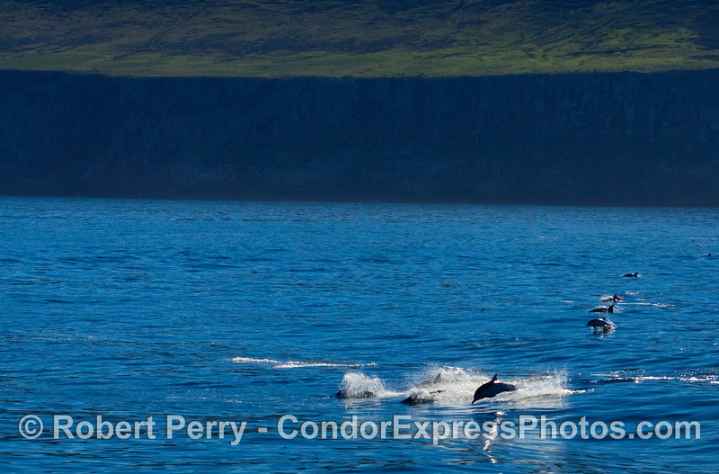 Common dolphins, Delphinus, leaping over boat wake with the west end of Santa Cruz Island in the background.