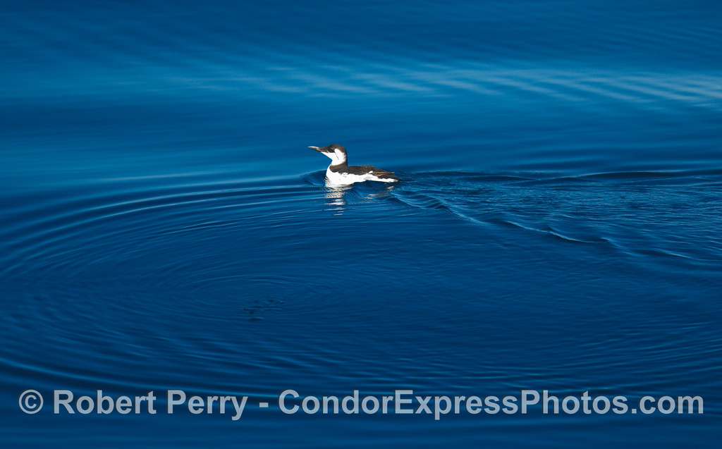 A common murre, Uria aalge, paddling across the surface.
