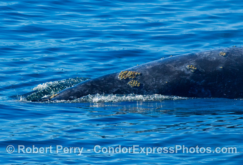 Close up view of the dorsal surface, just posterior of the head, Gray Whale, Eschrichtius robustus, showing parasites on skin.
