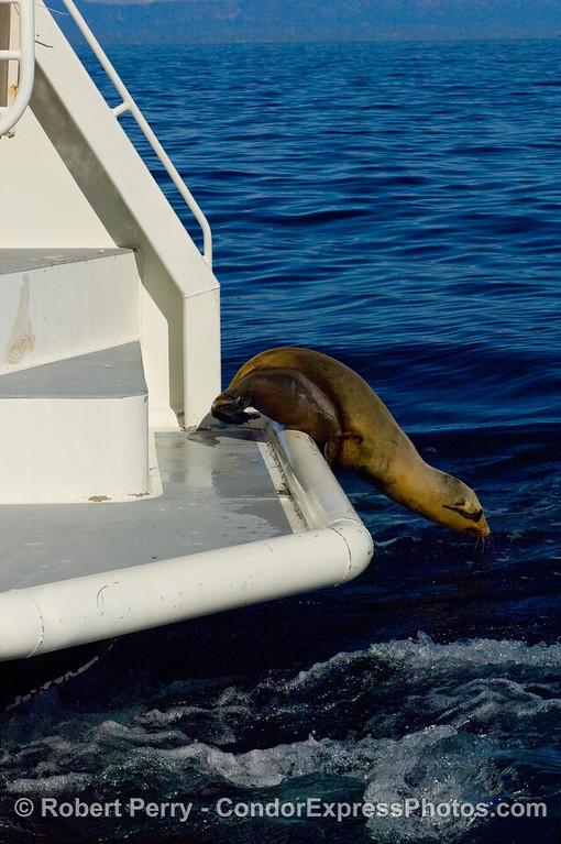 A rehabilitated California Sea Lion, Zalophus californianus, takes a plunge to return to the ocean environment at Santa Cruz Island.