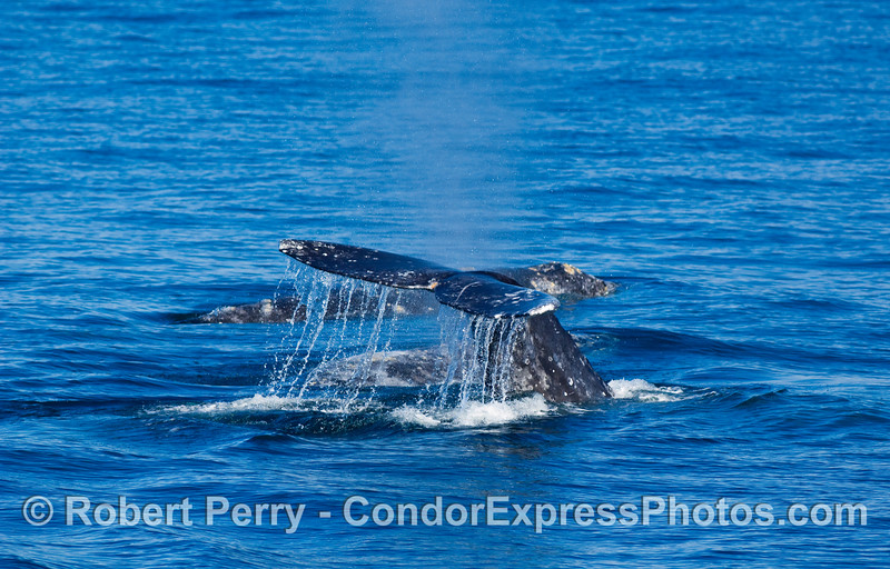 Tail fluke of Gray Whale, Eschrichtius robustus, with two other whales visible on the surface close.