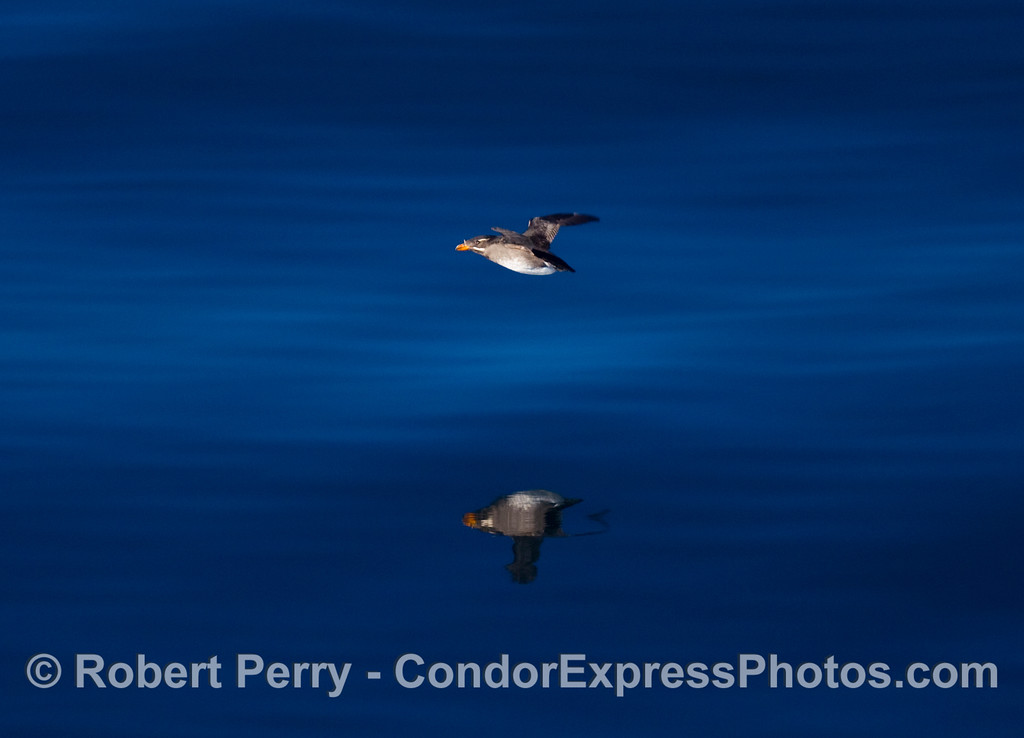 A Rhinoceros Auklet, Cerorhinca monocerata, in flight over a glassy surface.