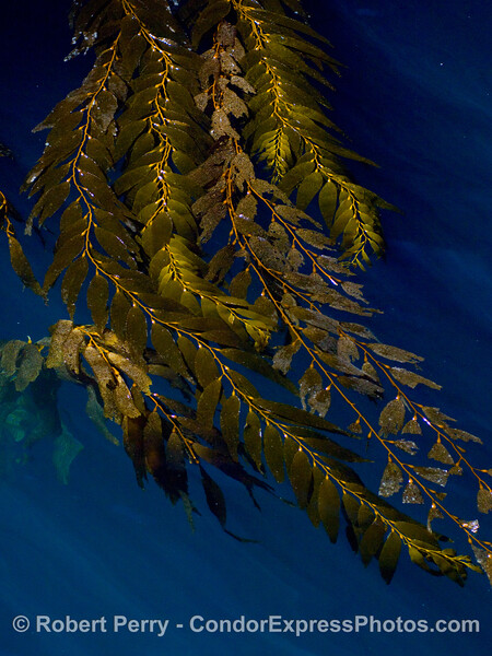 Giant kelp, Macrocystis pyrifera, canopy...on the surface near the mouth of the Painted Cave, Santa Cruz Island.