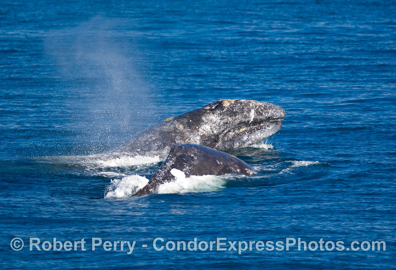 More courtship fun, male Gray Whale, Exchrichtius robustus, with head out of water chasing a female.  Southbound whales, Santa Cruz Island.