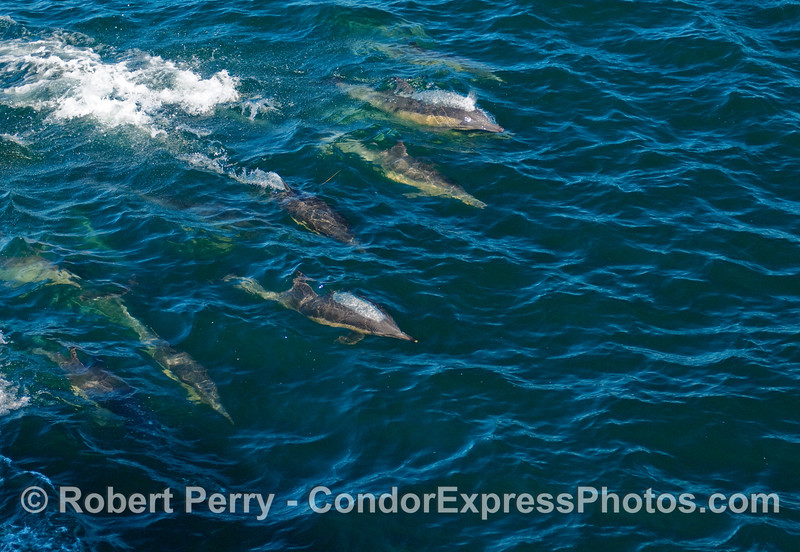 Mostly under the clear blue water - Common Dolphins (Delphinus sp) on the move.