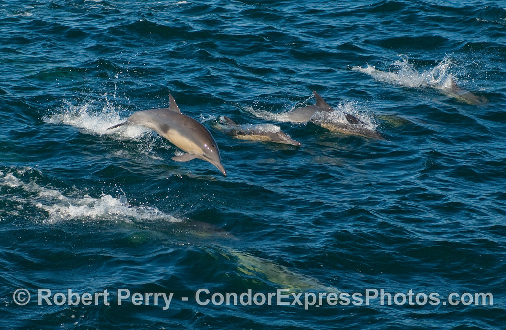 A line up of Common Dolphins (Delphinus sp) with one mid-air.
