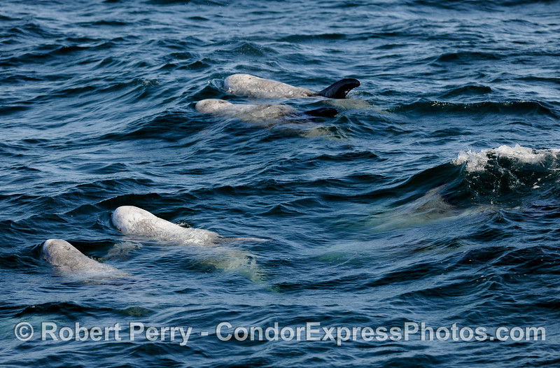 Risso's Dolphins (Grampus griseus) - if you look closely and enlarge this image you will see one surfing a small wave on the right edge, in the middle.