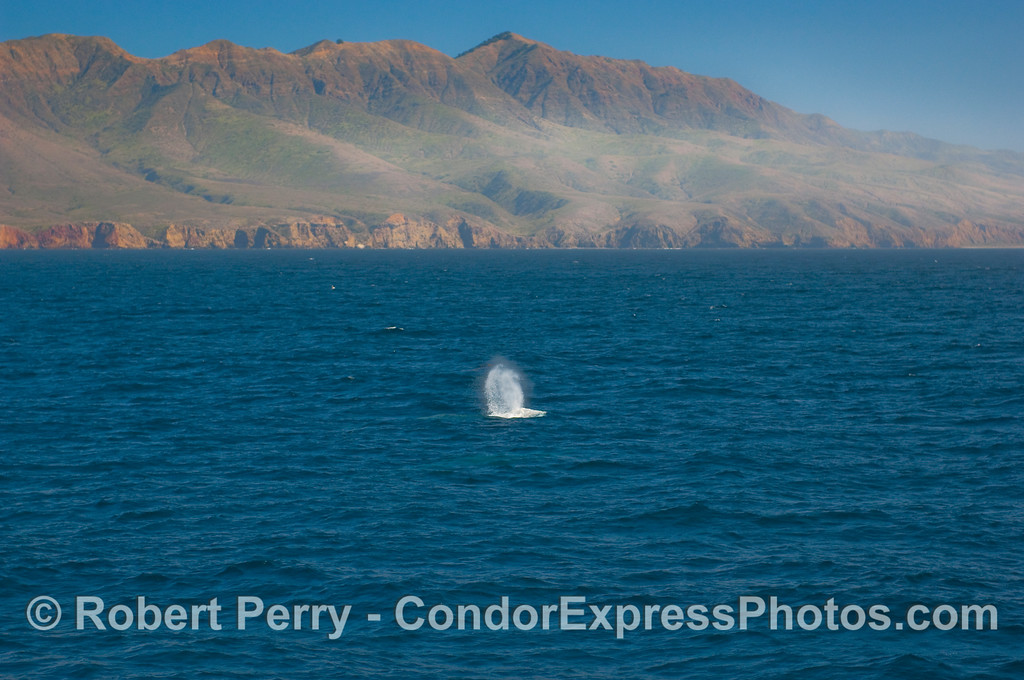 Gray Whale (Eschrichtius robustus) in the Santa Cruz Channel with the western end of Santa Cruz Island in the background.