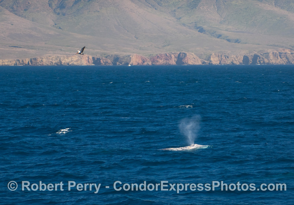 Gray Whale (Eschrichtius robustus) in the Santa Cruz Channel with the western end of Santa Cruz Island in the background. Also, a brown pelican flys in to take a look (Pelecanus occidentalis).