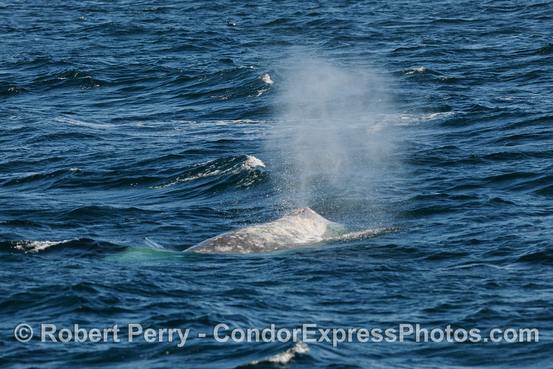 Gray Whale (Eschrichtius robustus) with big spout.