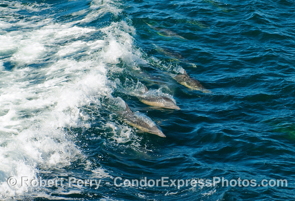 Common Dolphins (Delphinus sp) wave riding.