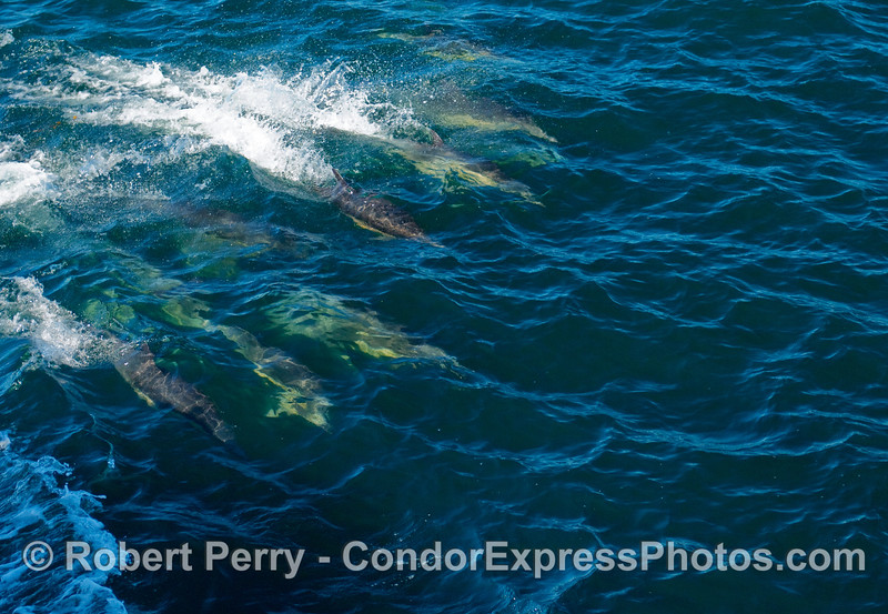 Common Dolphins (Delphinus sp) ride a wave.