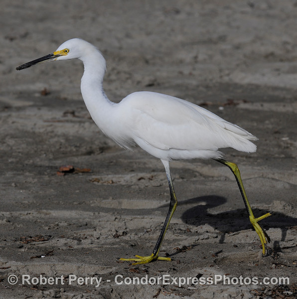 (Egretta thula) the snowy egret, a whole-bird image.  See the close up of this bird's head on page 2.