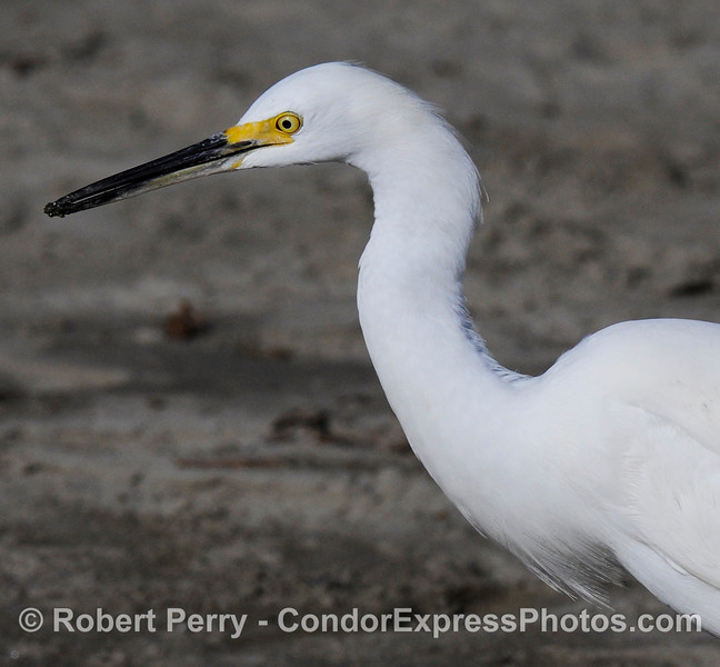 (Egretta thula) Snowy Egret portrait; left side view.