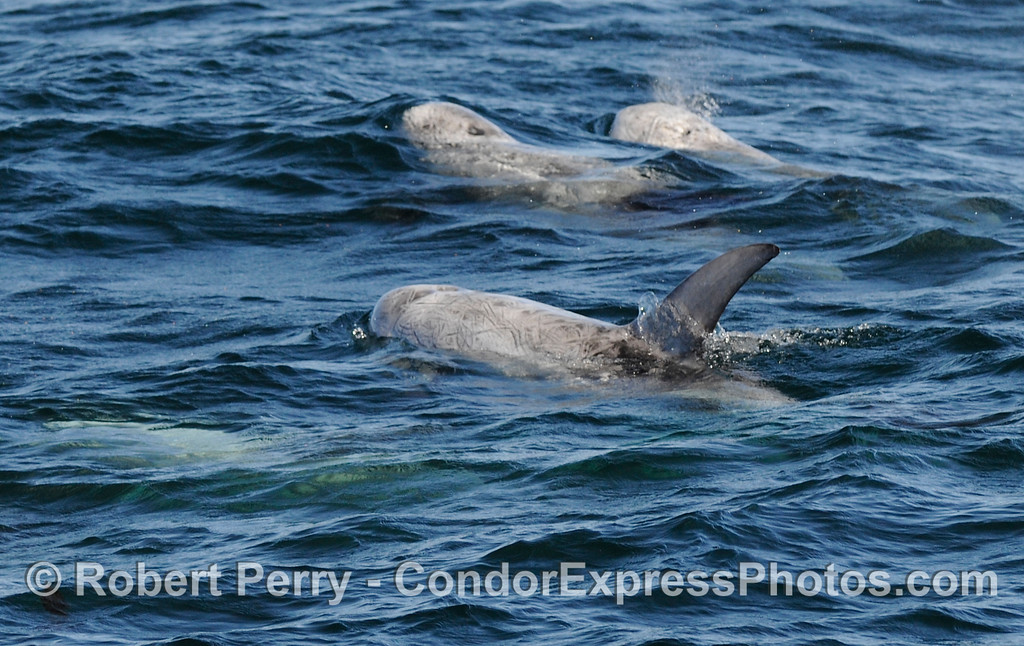 A bunch of Risso's Dolphins (Grampus griseus).