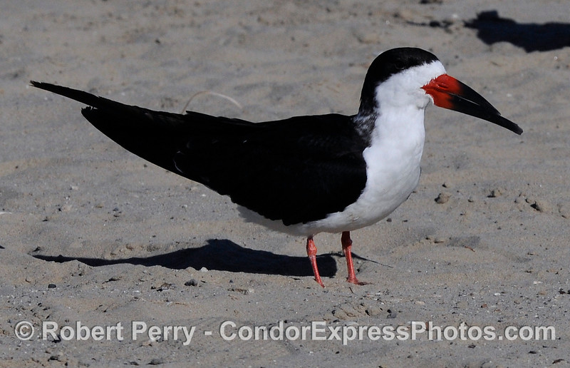 (Rynchops niger) the Black Skimmer resting on the beach.