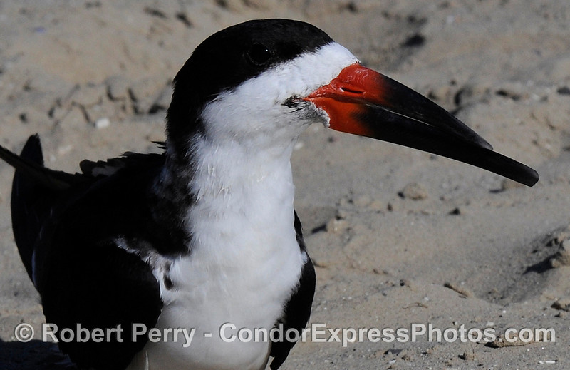 (Rynchops niger) the Black Skimmer poses for the camera on the beach at Santa Barbara.
