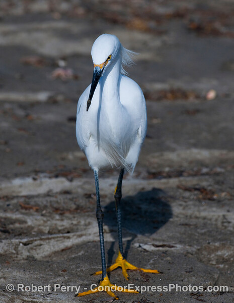 "Snowy Egret (Egretta thula) adult with ""golden slippers"" is the same bird shown close up on page one."