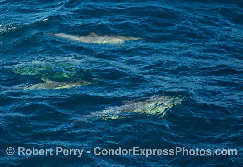 Common Dolphins (Delphinus sp) beneath the clear, blue water.