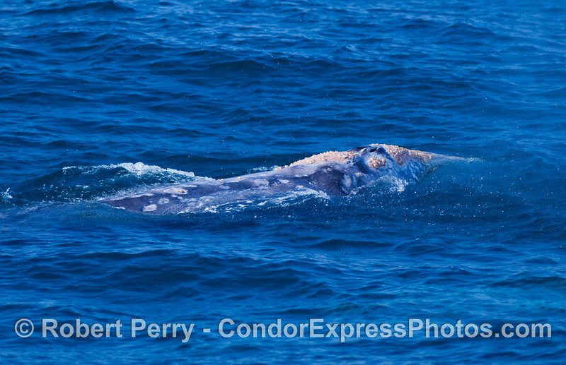 Close view of gray whale underwater (Eschrichtius robustus).