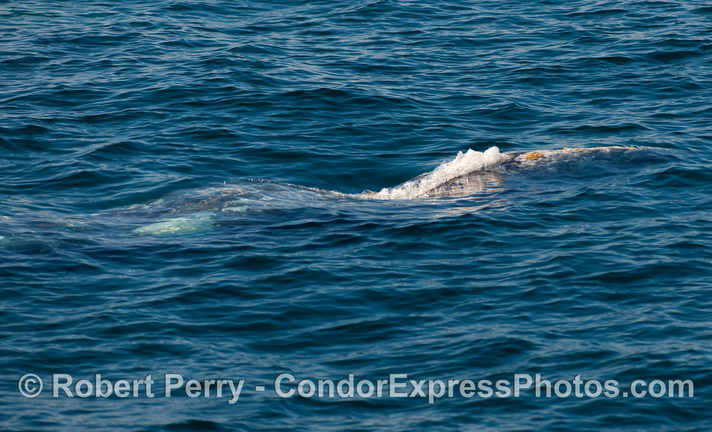 Bubbling before spouting, gray whale (Eschrichtius robustus).