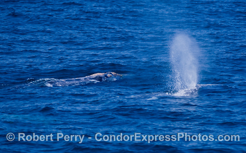 Pair of Gray whales, one spouting, one underwater  (Eschrichtius robustus).