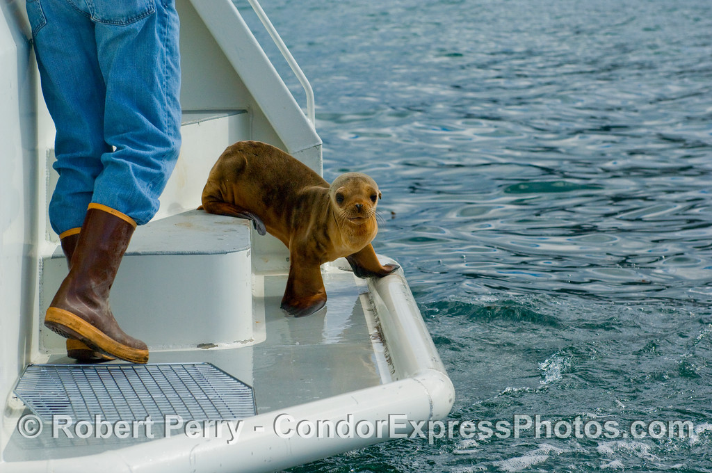 Rehabilitated California sea lion (Zalophus californianus) being released by CIMWI volunteer and Condor Express crew member, Jacques Manot.