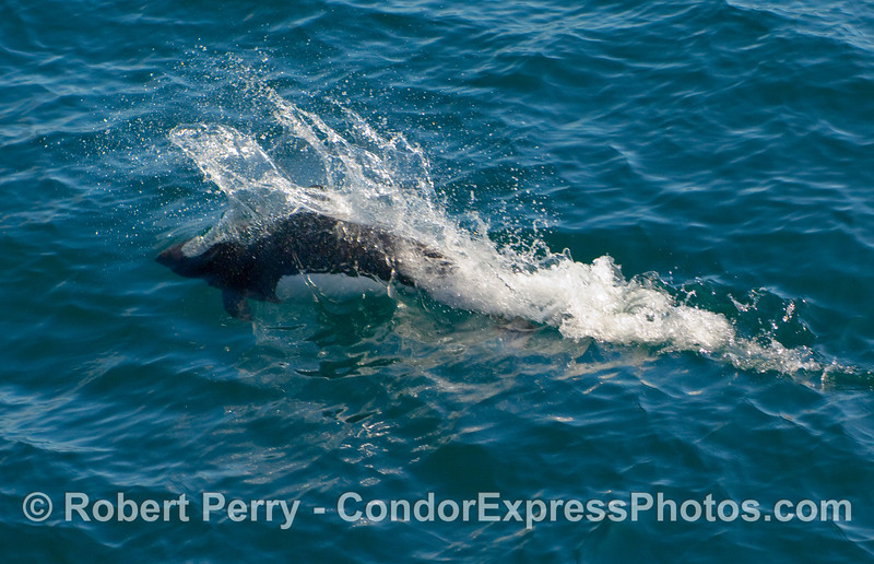 Dall's Porpoise (Phocoenoides dalli) demostrating its amazing speed and agility.