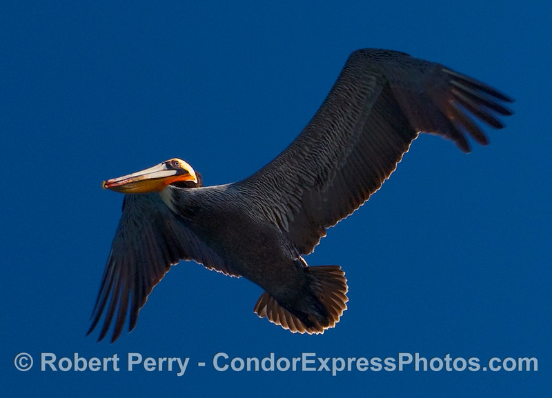 Brown Pelican (Pelecanus occidentalis) viewed from below with lighting from above.