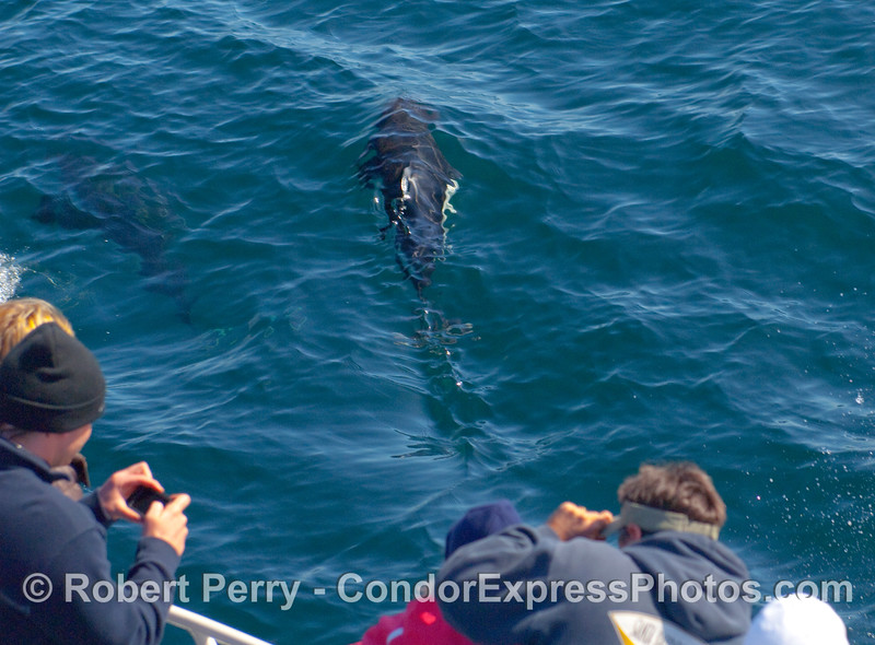Dall's Porpoise (Phocoenoides dalli) entertains passengers on the Condor Express with its amazing speed and agility.