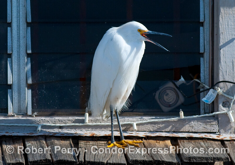 Snowy Egret (Egretta thula) on roof of Sea Landing in Santa Barbara Harbor.