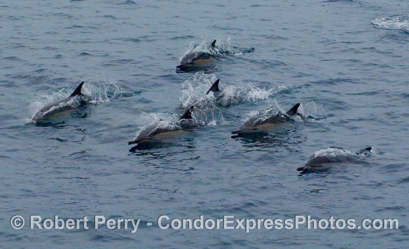 A squadron of common dolphins (Delphinus capensis) breaks away from the armada to visit the Condor Express.